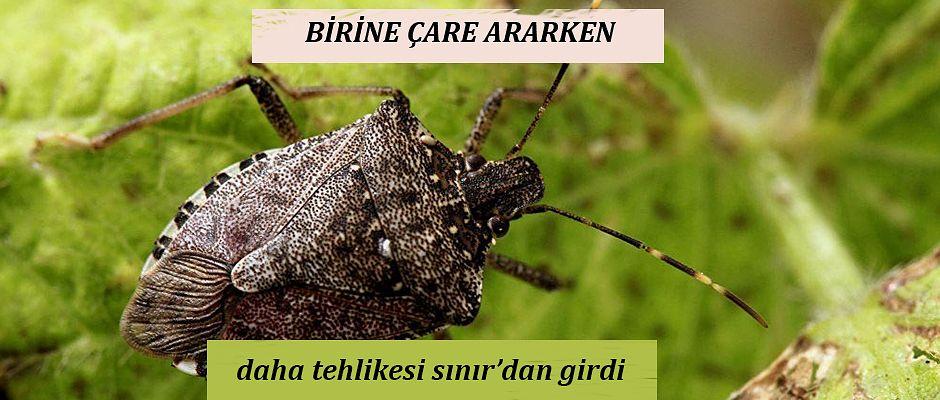 TARIM ALANLARININ YENİ ZARARLISI; KAHVERENGİ KOKARCA ( OXİNALE) BÖCEĞİ..