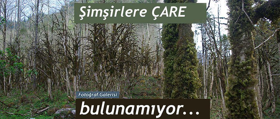 Rize'nin Çamlıhemşin ilçesindeki şimşir ormanı, kurumaya yüz tuttu.