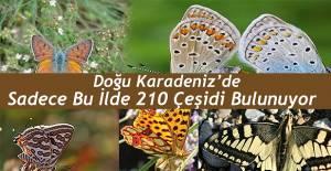 ARTVİN'DE 210 KELEBEK...