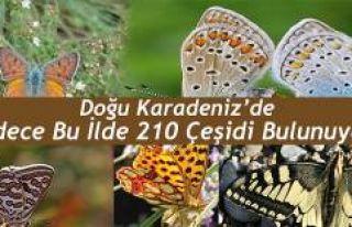ARTVİN'DE 210 KELEBEK ÇEŞİDİ YAŞIYOR